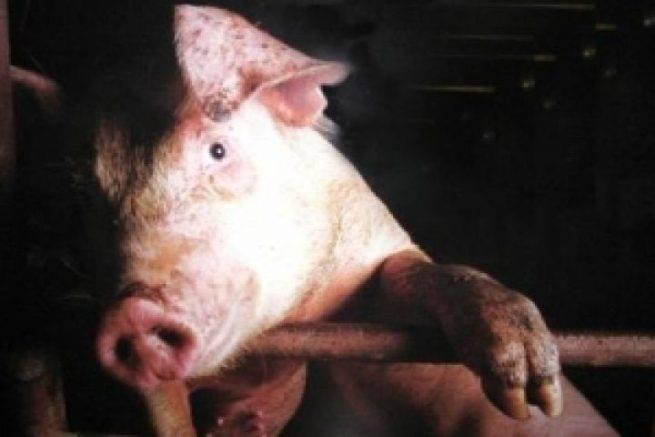 Рожа у свиней: симптомы, фото и лечение в домашних условиях