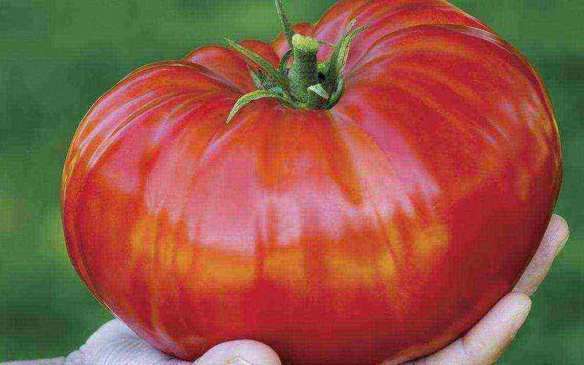 Сорт томата сибирское яблоко