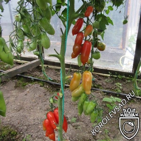 Высокорослый и среднеспелый сорт томата фляшен