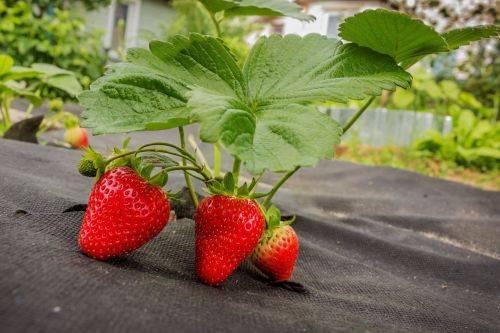 Правильная обработка клубники гербицидами от сорняков: использование и пропорции