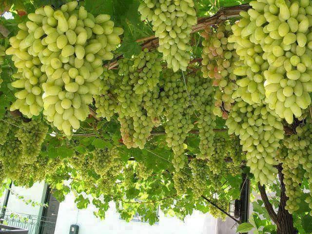 Алтайский сорт винограда загадка шарова, особенности посадки и выращивания
