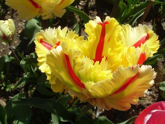 Описание и характеристики тюльпана сорта апельдорн, посадка и выращивание