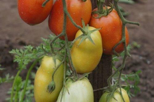 Характеристика и описание сорта томата сладкий пончик, его урожайность