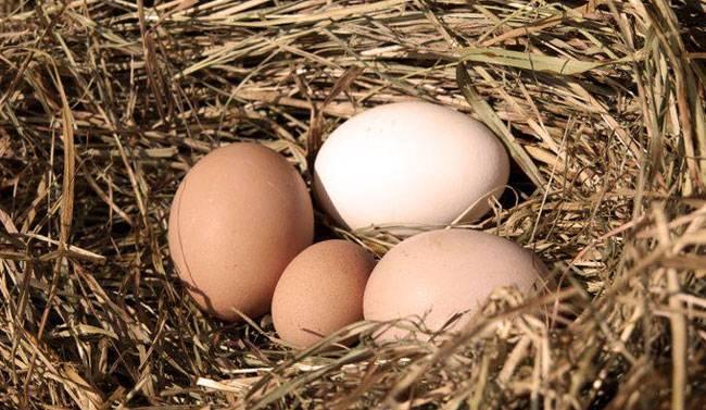 Почему куры несут мелкие яйца (причина и что делать)