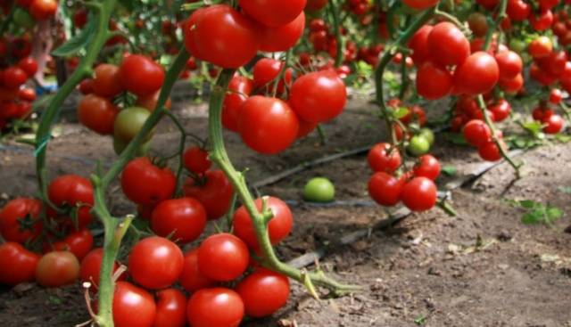 Технология метода китайского способа выращивания рассады томатов