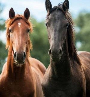 Как происходит спаривание лошадей? подготовка и оптимальные способы