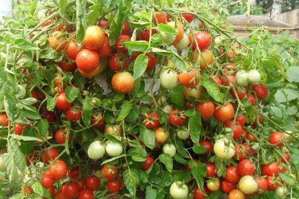 Описание и характеристики сорта томата турбореактивный