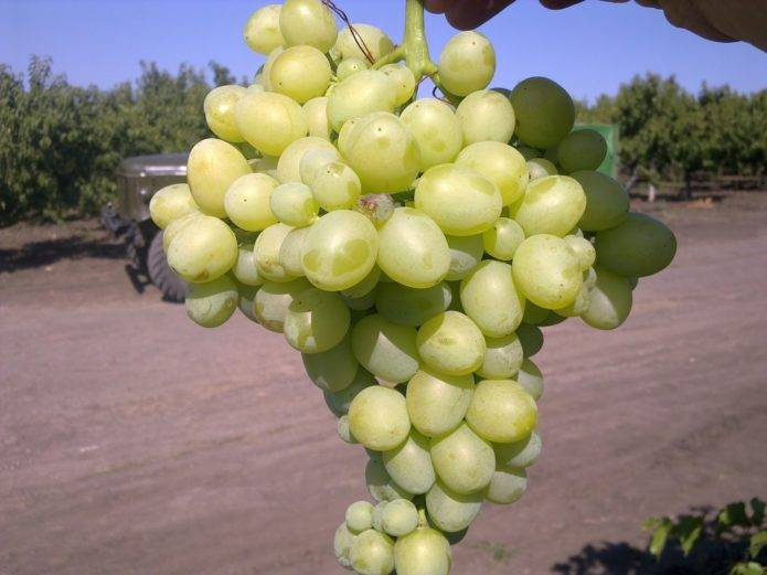 Описание и характеристики винограда сорта загадка шарова, правила посадки и ухода
