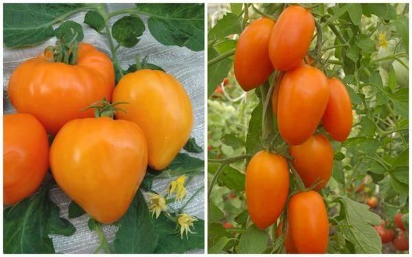 Как вырастить томаты красная шапочка