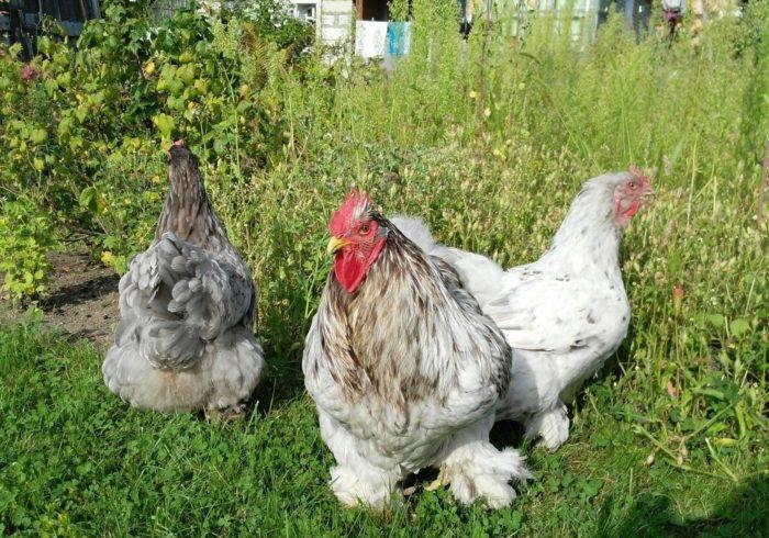Как выглядят на фото цыплята кохинхин и каковы особенности выращивания птиц данной породы?