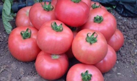 Описание томата розамарин фунтовый, характеристика и выращивание гибридного сорта