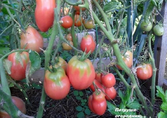 Сорт томата петруша огородник – характеристика, урожайность, отзывы