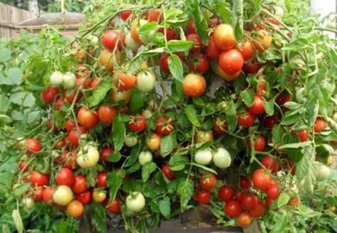 Характеристика и описание сорта томата Бабушкина гордость, его урожайность