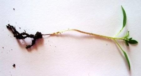 Болезни и вредители огурцов в теплице