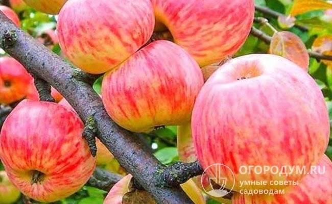 Яблоня уэлси: сорт американской селекции в российских садах