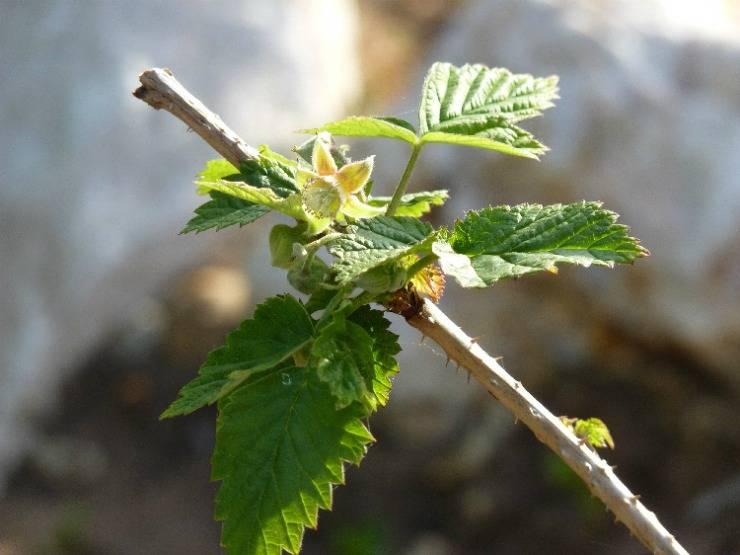 Как размножить малину: семенами, черенками, отводками, делением куста