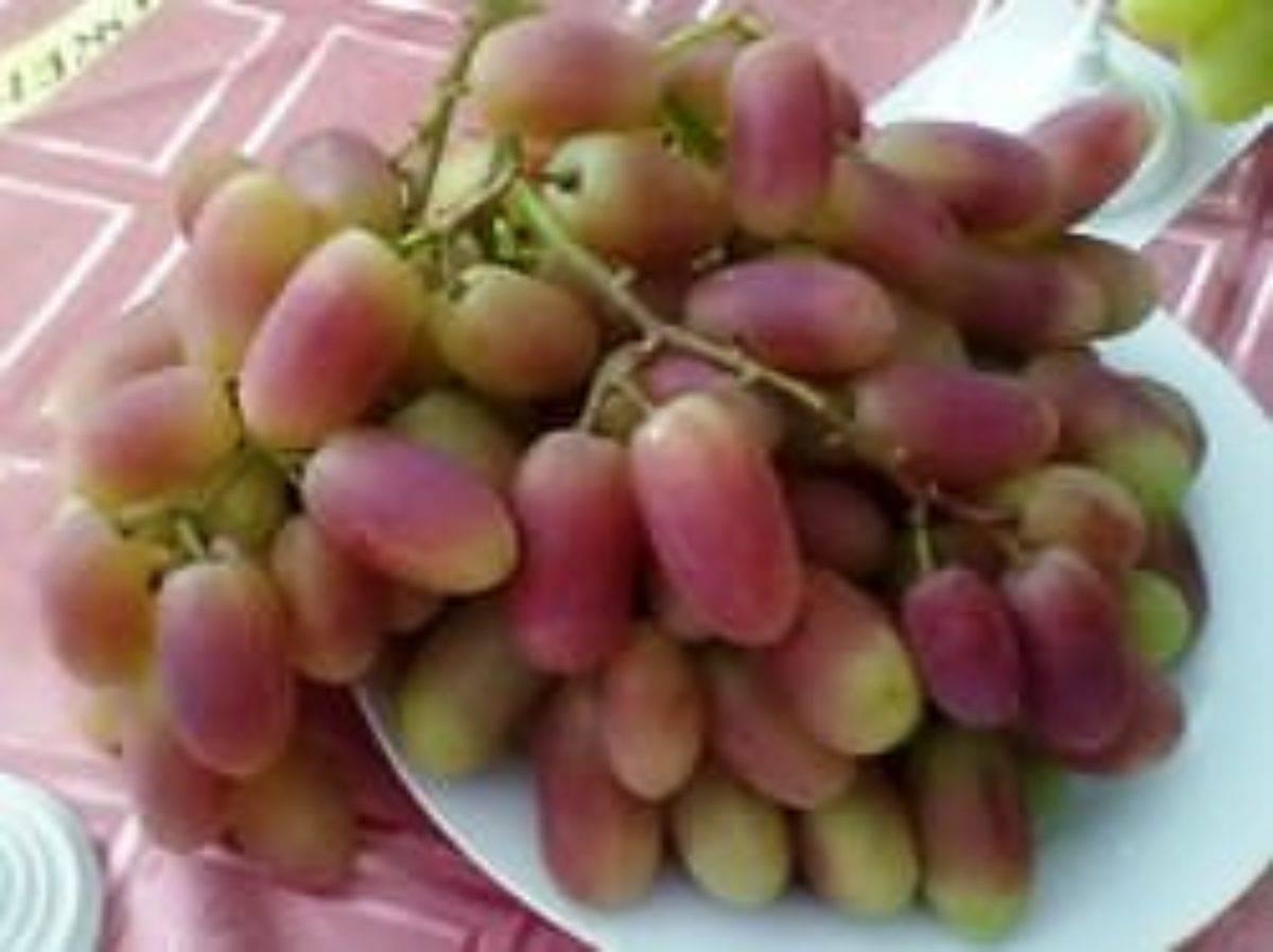 Описание сорта винограда Преображение и характеристика сроков созревания