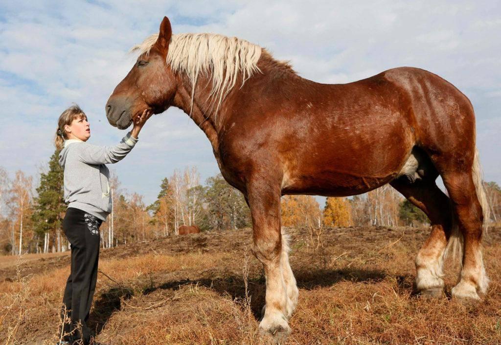 Лошади тяжеловозы, какие они?