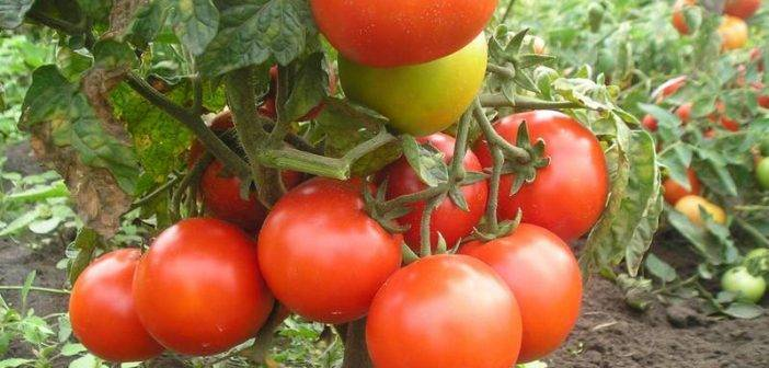 Преимущества и недостатки помидоров «роза ветров», особенности выращивания вкусных томатов