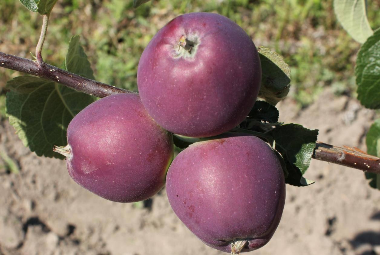 Яблоня имант: описание сорта, фото, отзывы садоводов