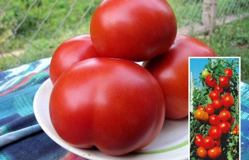 Всегда продуктивный — томат гибрид тарасенко 2: описание сорта и советы по выращиванию