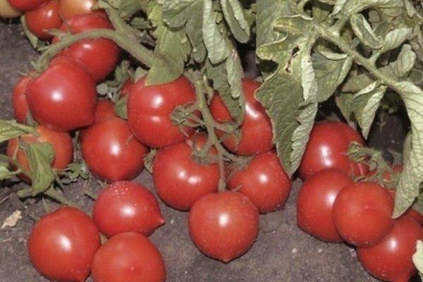 Характеристика и описание сорта томата Агата, его урожайность