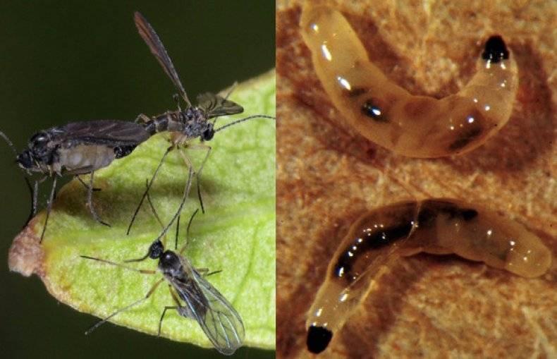 Мошки в комнатных цветах, что за насекомые и как избавиться от них