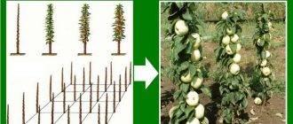 Колоновидный сад, или как на одной сотке выращивать 20 плодовых деревьев?