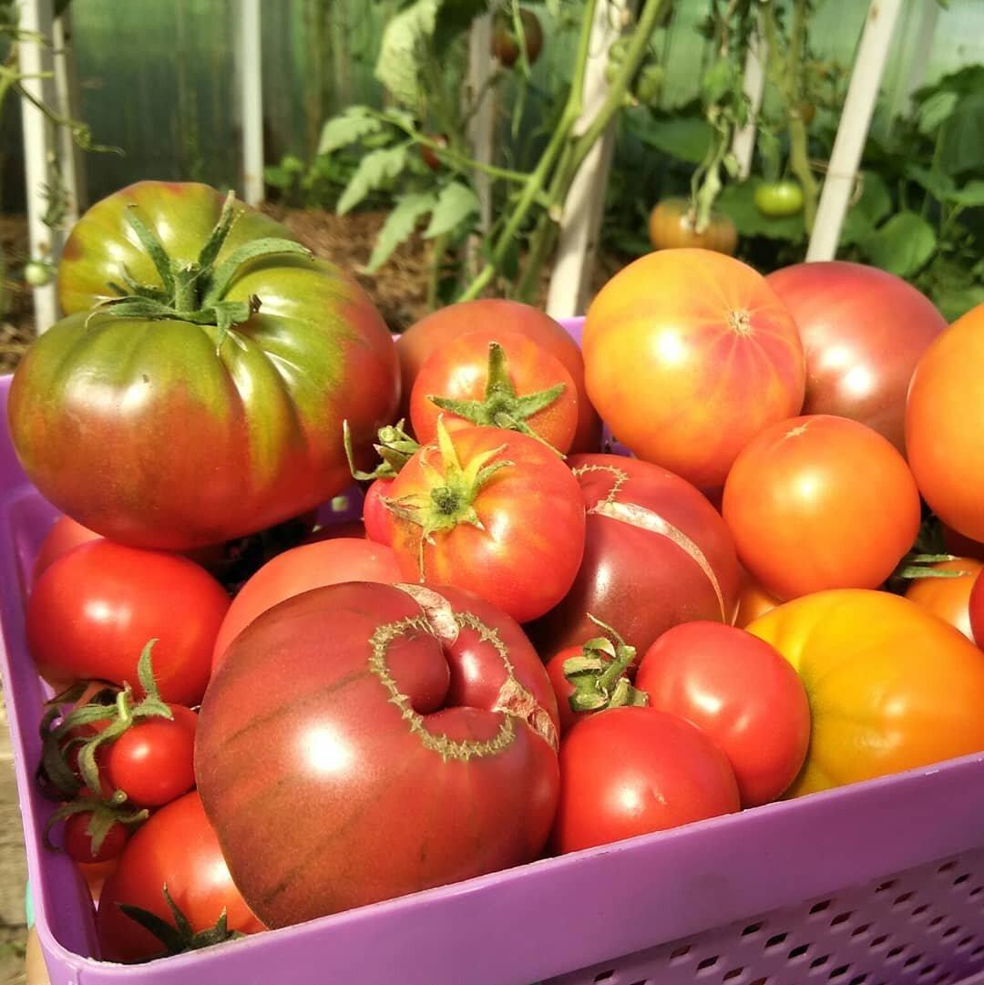 Описание сорта томата Майкл Поллан, особенности выращивания и уход