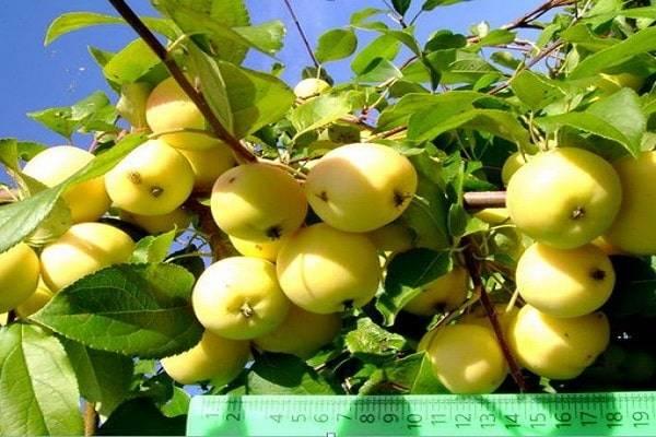 Яблоня янтарь: описание сорта и разновидности, достоинства и недостатки
