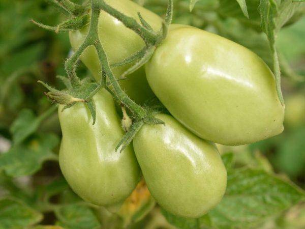 Выращиваем розовые томаты легко: описание сорта малиновка и уход за ним