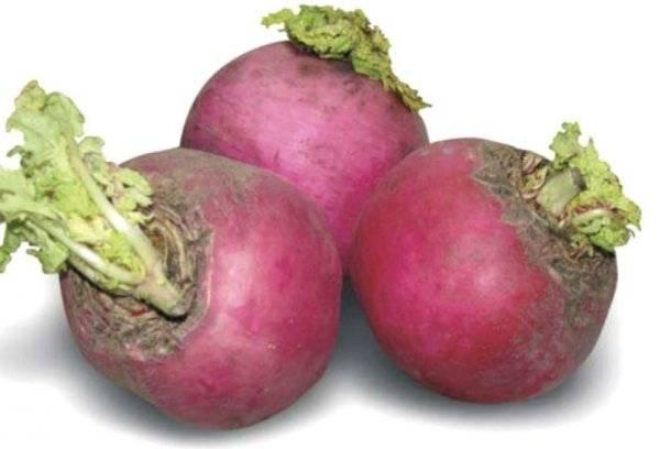 Описание сорта розовой редьки, полезные и вредные свойства