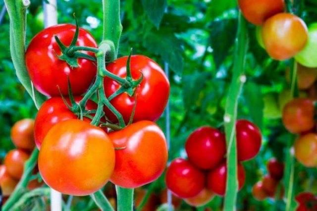Помидоры агата: урожайность и выращивания сорта