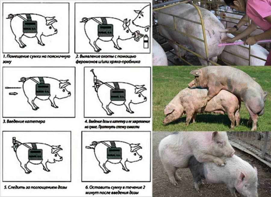 Сколько дней гуляет свинья и как контролировать сроки