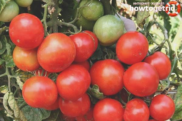Характеристика и описание сорта томата щелковский ранний