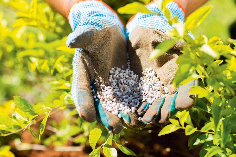 Обрезка садовой голубики для начинающих