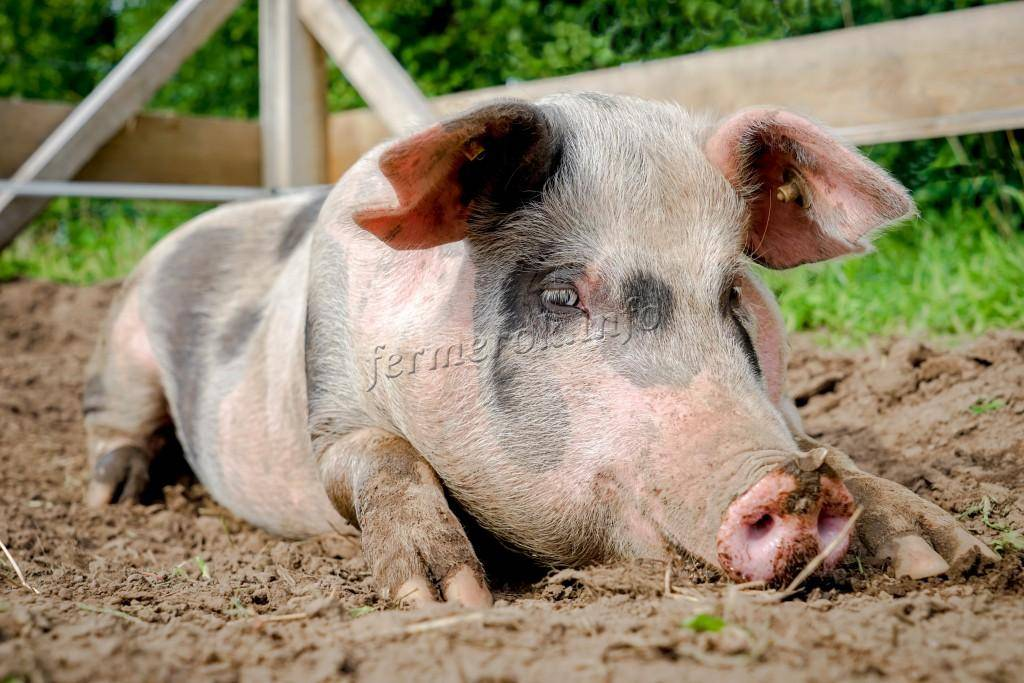 Корм для свиней в домашних условиях: рецепты, состав, как сделать своими руками