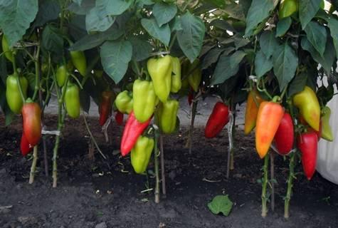Агротехника выращивания болгарского перца (с видео)