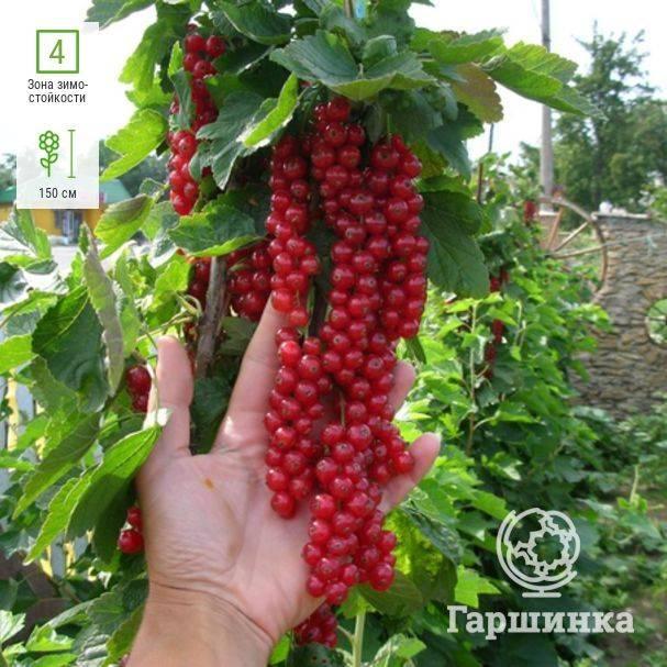 Особенности сорта красной смородины щедрая