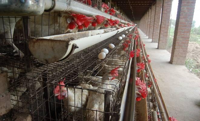 Пошаговая инструкция постройки клеток для кур