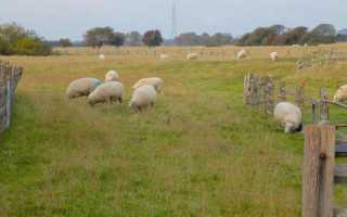Обзор молочных пород овец