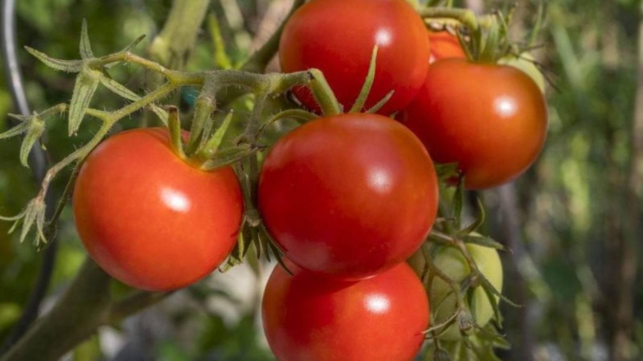 Сорт томата сливка: описание и советы по выращиванию