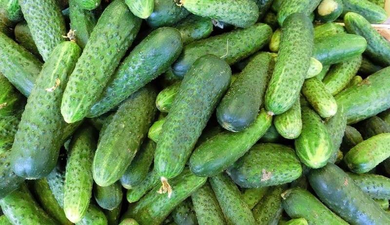 Сорт огурцов динамит f1: характеристика и особенности выращивания