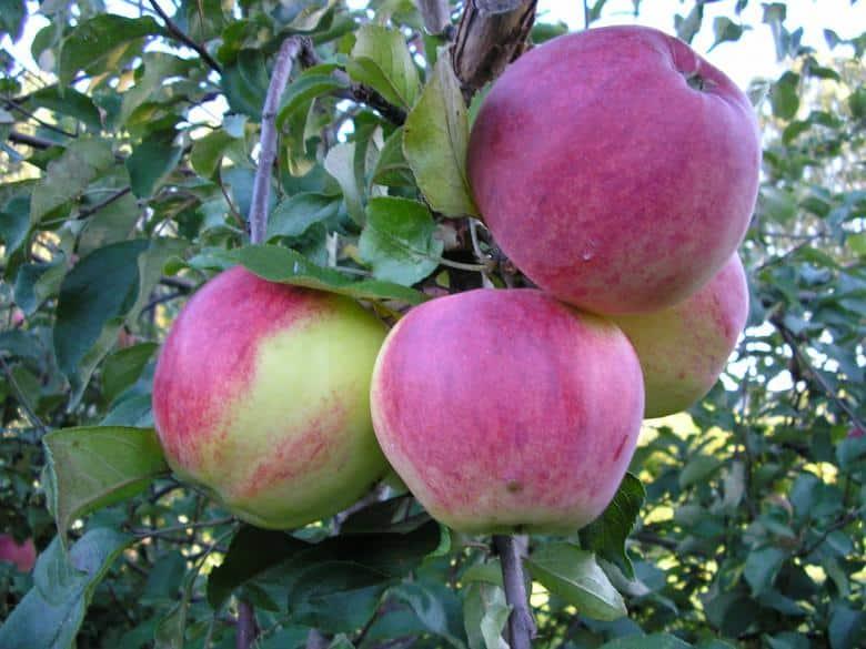 Яблоня макинтош: особенности сорта и ухода