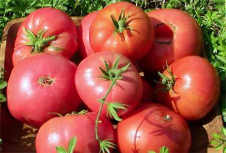 Описание и характеристика сорта томата сладкоежка, его урожайность