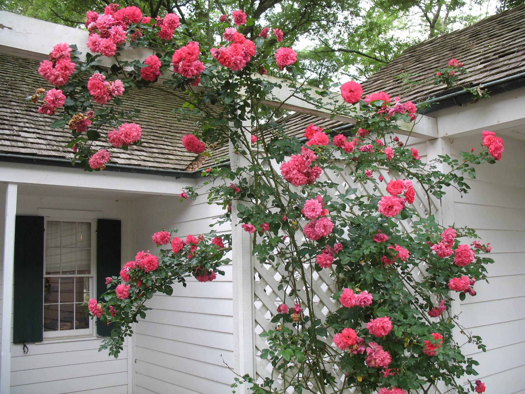 Плетистая роза розариум ютерсен: описание сорта и особенности ухода
