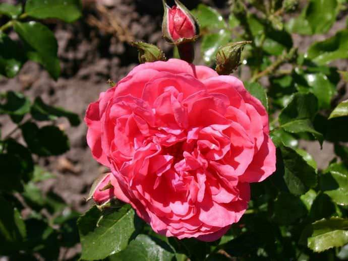 Описание розы сорта Розариум Ютерсен плетистой, посадка и уход за растением