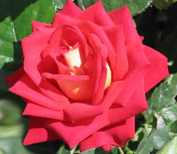 Описание чайно-гибридной розы сорта Версилия, технология выращивания