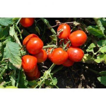Томат ляна — прекрасный засолочный сорт