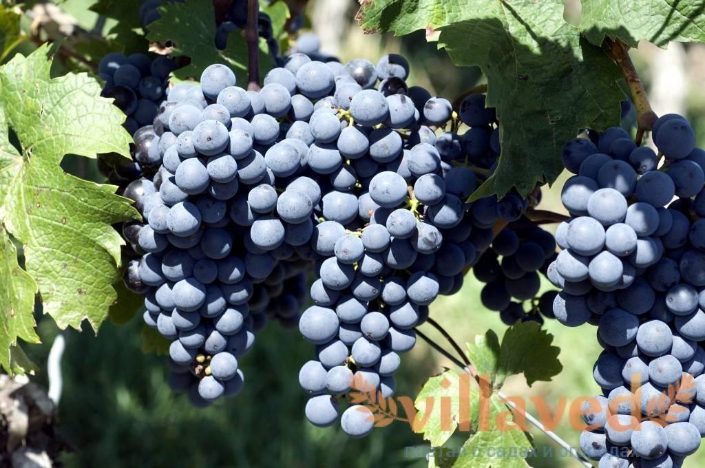 Виноград памяти хирурга: описание сорта и характеристики, правила посадки и ухода